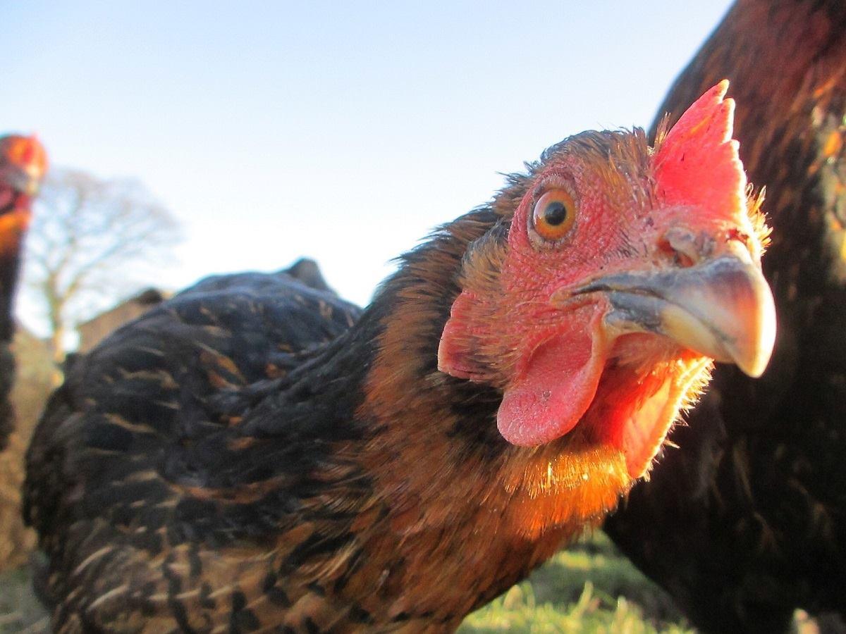 Hühnertränke | FAIE Shop (AT)